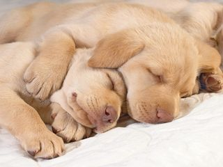 Wordpress-puppies-sleeping